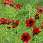 Adonis aestivalis - red flowered - 25 grams - Pheasants eye - Bulk Discounts available